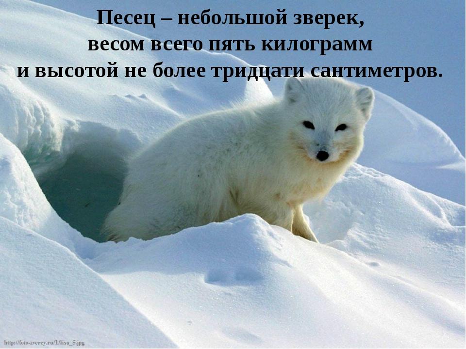 Песец – небольшой зверек, весом всего пять килограмм и высотой не более тридц...