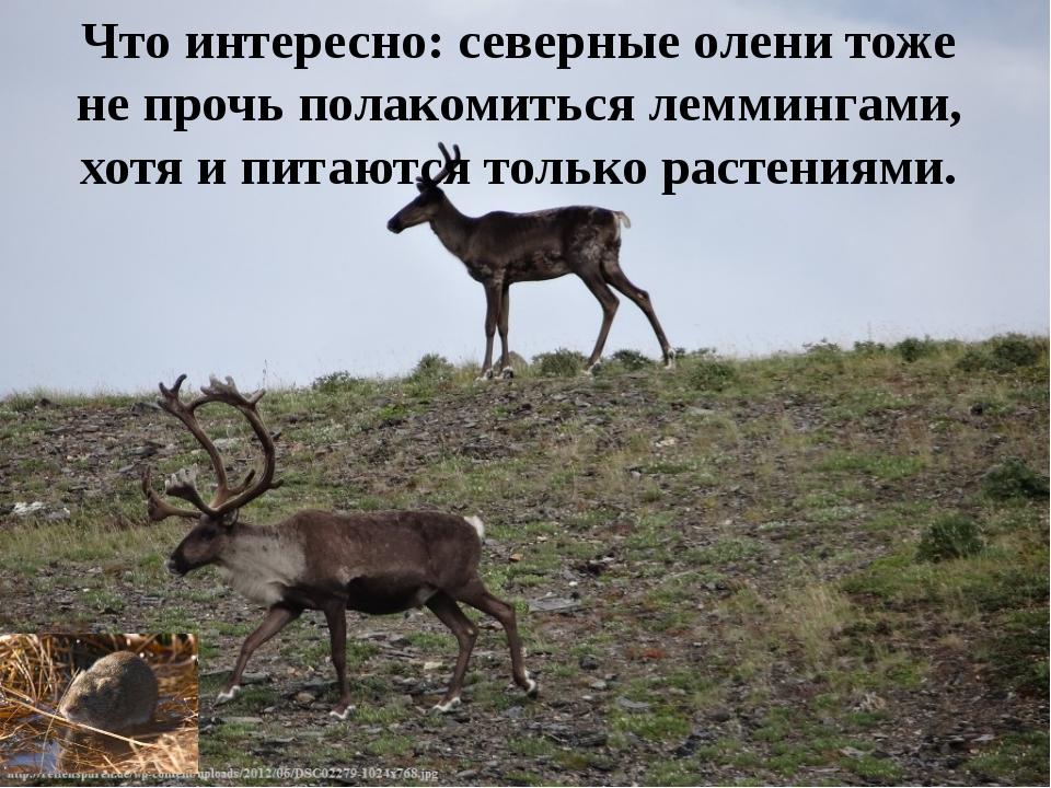 Что интересно: северные олени тоже не прочь полакомиться леммингами, хотя и п...