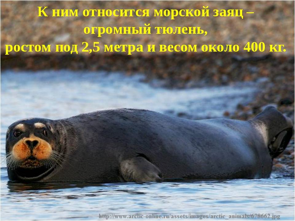 К ним относитсяморской заяц – огромный тюлень, ростом под 2,5 метра и весом...