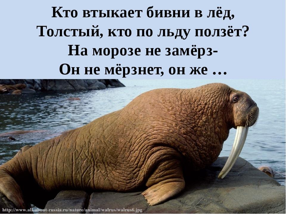 Кто втыкает бивни в лёд, Толстый, кто по льду ползёт? На морозе не замёрз- Он...