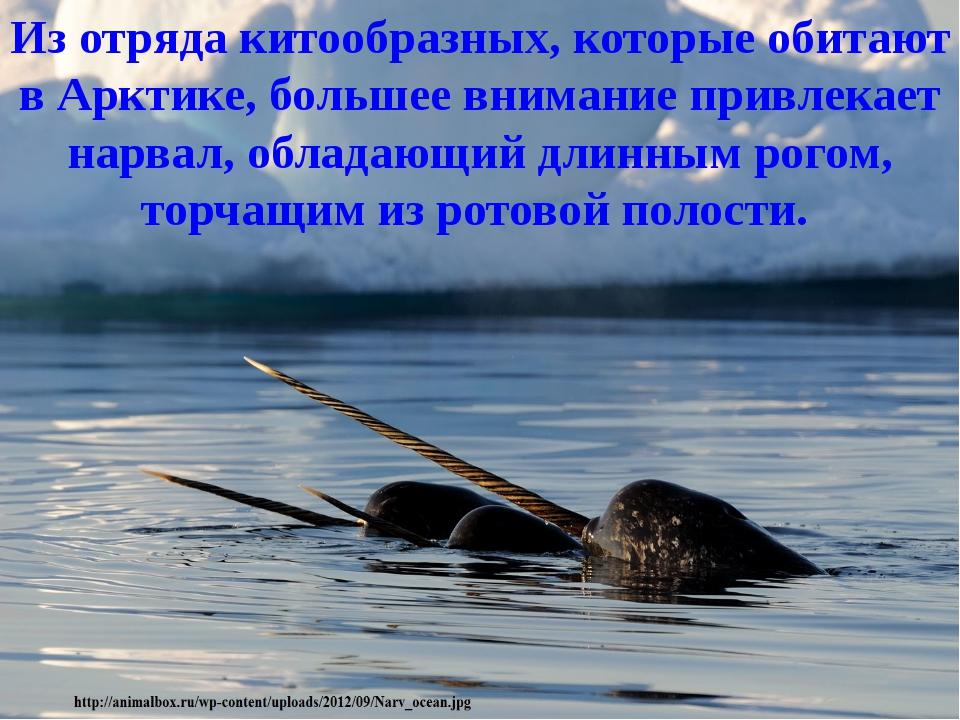 Из отряда китообразных, которые обитают в Арктике, большее внимание привлекае...