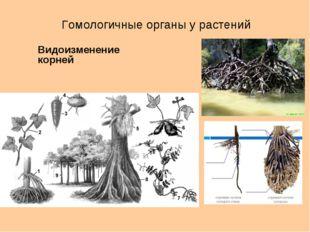 Гомологичные органы у растений Видоизменение корней