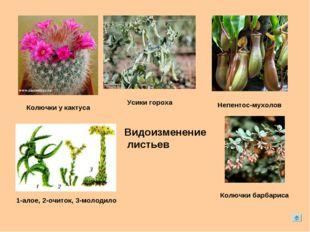 Непентос-мухолов Колючки у кактуса 1-алое, 2-очиток, 3-молодило Колючки барба