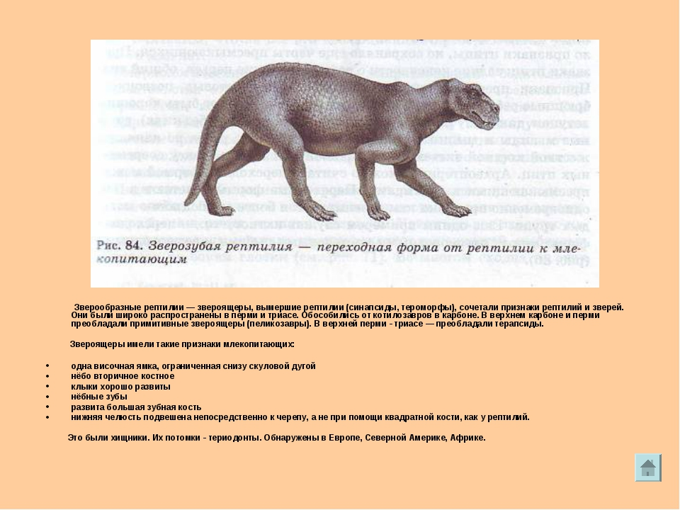 Зверообразные рептилии— звероящеры, вымершие рептилии (синапсиды, тероморфы...