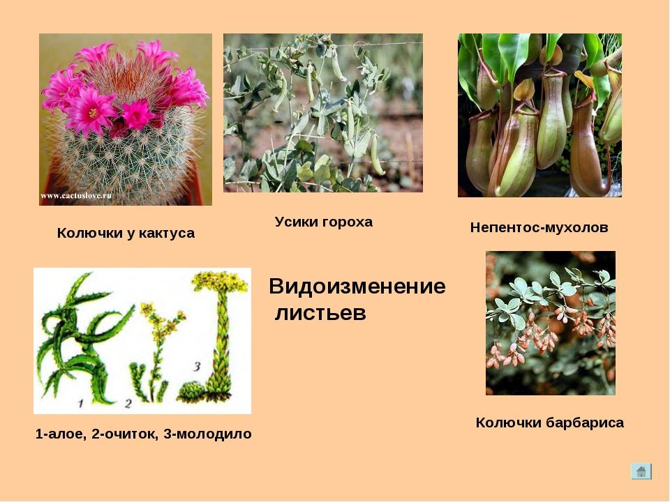 Непентос-мухолов Колючки у кактуса 1-алое, 2-очиток, 3-молодило Колючки барба...