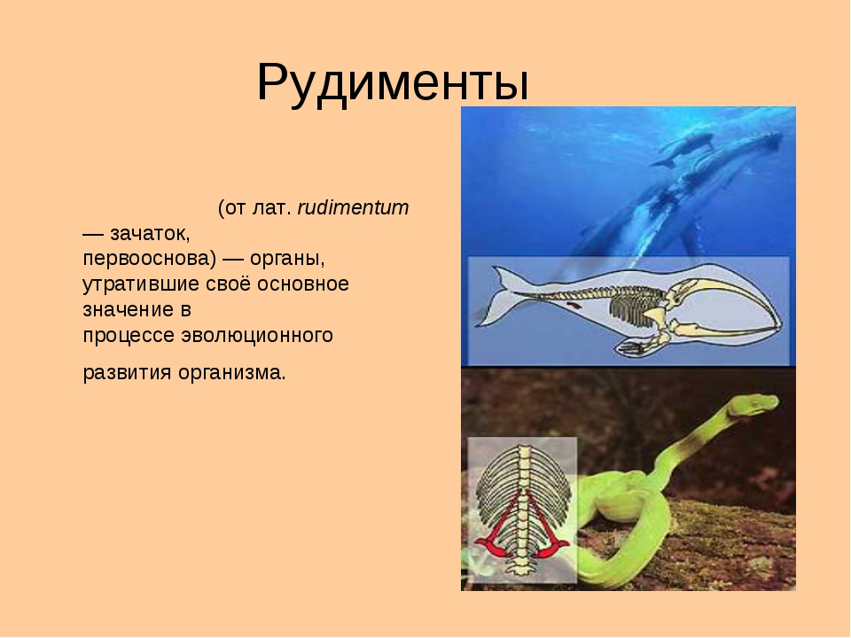 Рудименты Рудимента́рные о́рганы, рудиме́нты(отлат.rudimentum— зачаток,...