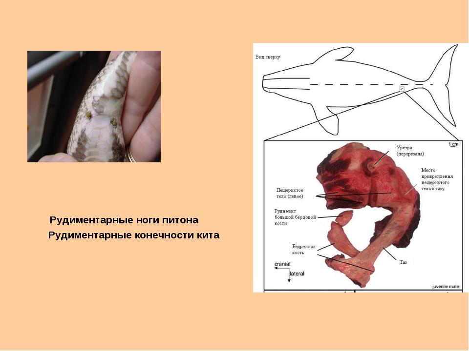 Рудиментарные ноги питона Рудиментарные конечности кита