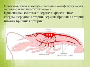 Кровеносная система: незамкнутая – частично гемолимфа внутри сосудов, частичн