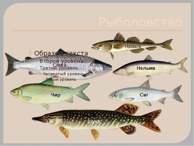 Рыболовство Сёмга Нельма Чир Сиг Щука Навага