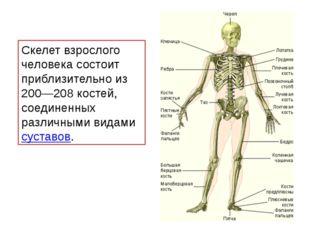 Скелет взрослого человека состоит приблизительно из 200—208 костей, соединенн