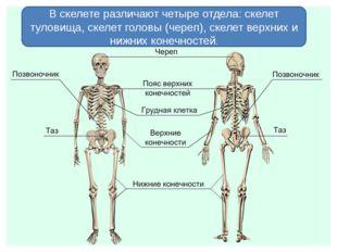 В скелете различают четыре отдела: скелет туловища, скелет головы (череп), ск
