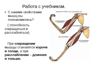 Работа с учебником. С какими свойствами мышц вы познакомились? ( способность