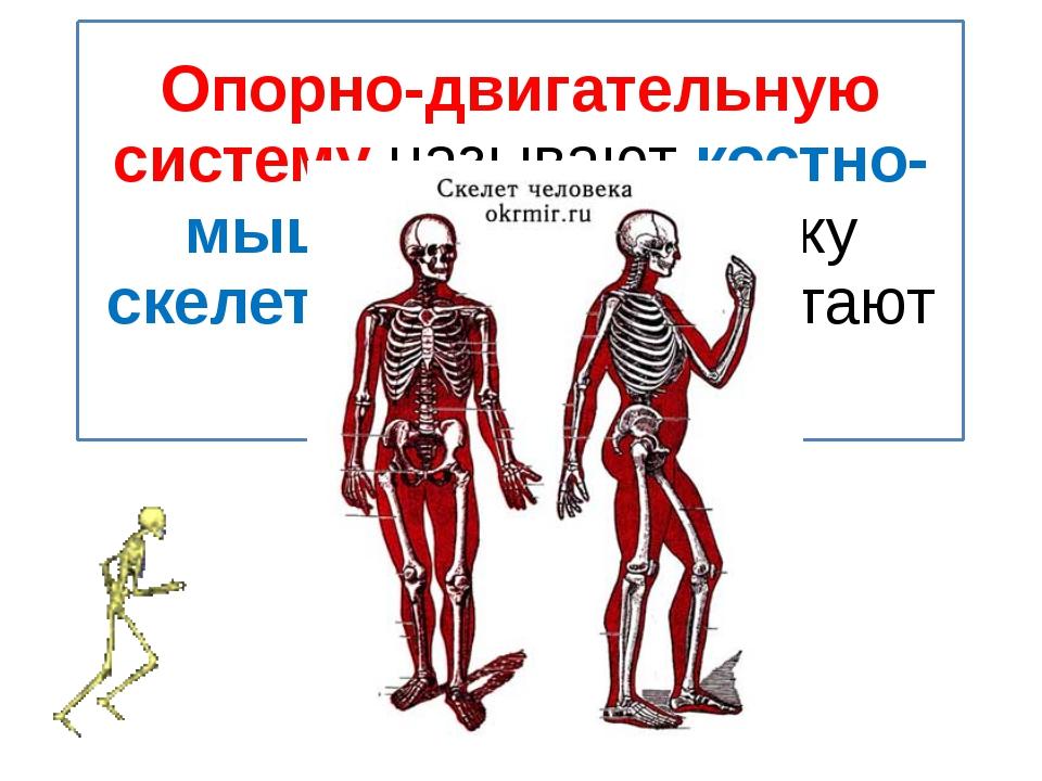 Опорно-двигательную систему называют костно-мышечной, поскольку скелет и мышц...