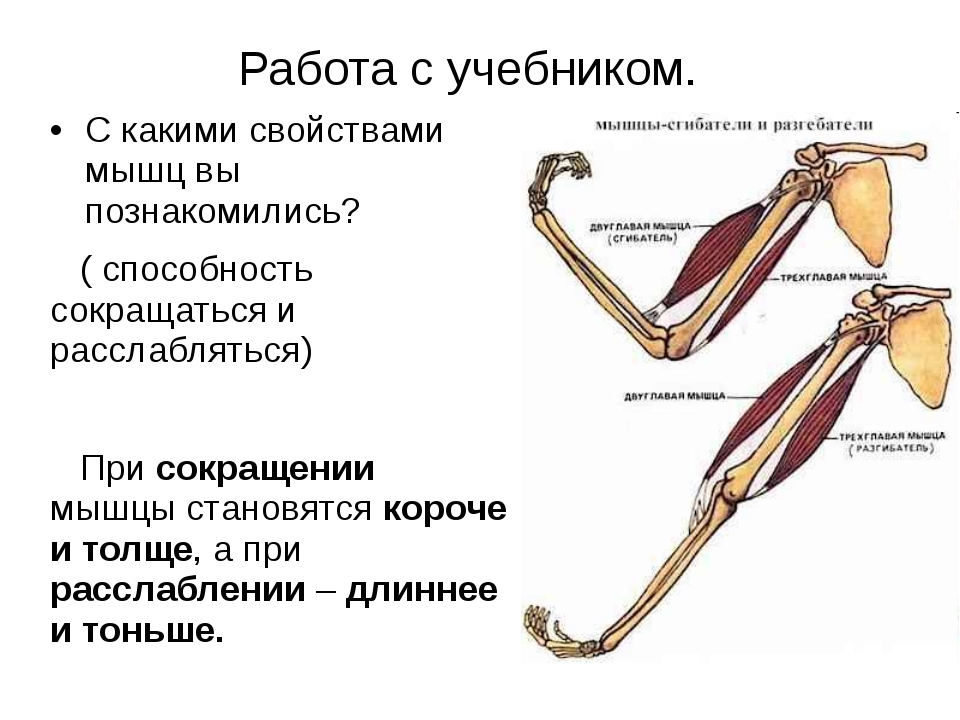 Работа с учебником. С какими свойствами мышц вы познакомились? ( способность...