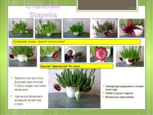 Цветок №9 Суккулентное растение. Длинный ярко-зеленый стебель покрыт жестким