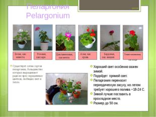 Цветок №2 Существует сотни сортов пеларгонии, большинство которых выращивают