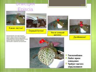 Цветок №3 Ампельное растение. Листья сидят на длинных черешках. Форма листов