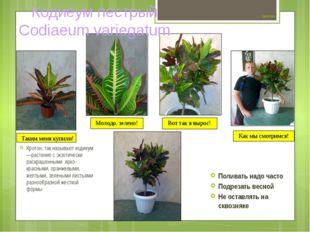 Цветок №4 Кротон, так называют кодиеум —растение с экзотически раскрашенными