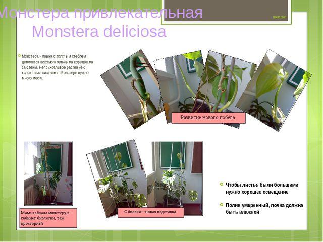 Цветок №1 Монстера - лиана с толстым стеблем цепляется вспомогательными коре...