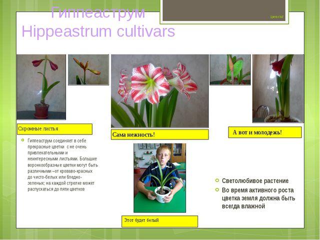 Цветок №7 Гиппеаструм соединяет в себе прекрасные цветки с не очень привлека...