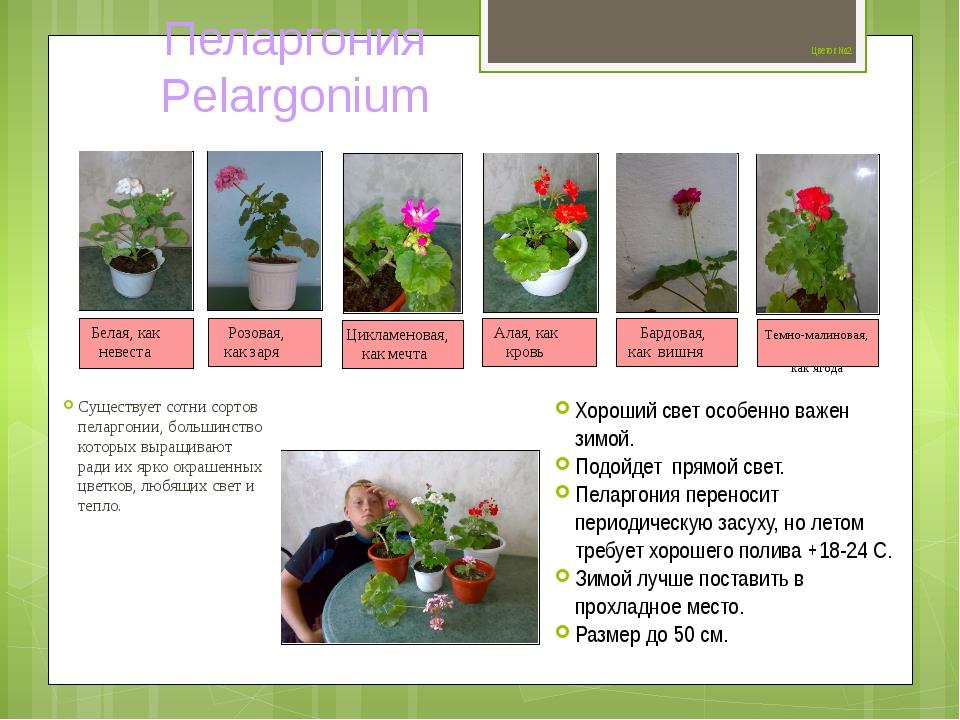 Цветок №2 Существует сотни сортов пеларгонии, большинство которых выращивают...