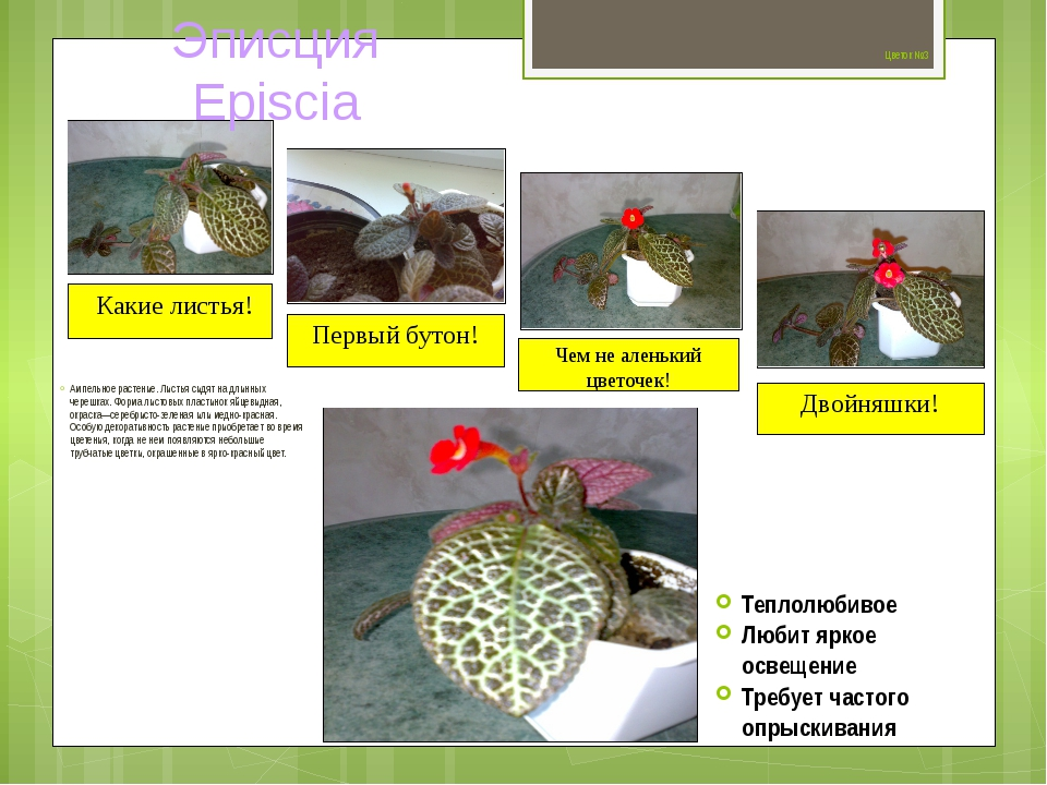 Цветок №3 Ампельное растение. Листья сидят на длинных черешках. Форма листов...