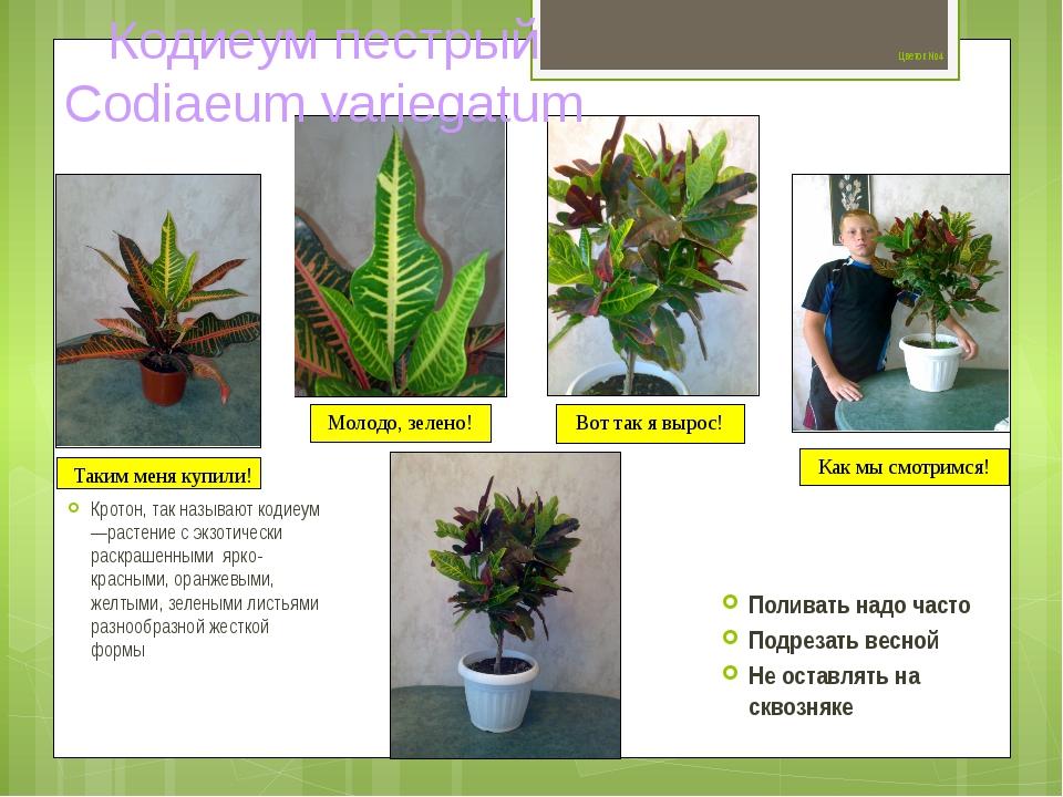 Цветок №4 Кротон, так называют кодиеум —растение с экзотически раскрашенными...