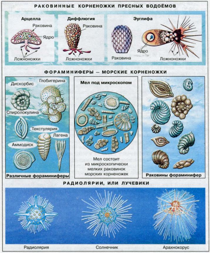пресноводные раковинные корненожки, морские фораминиферы и радиолярии