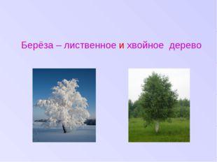 Берёза – лиственное и хвойное дерево