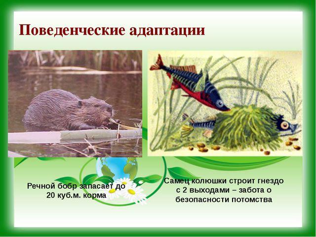 Поведенческие адаптации Речной бобр запасает до 20 куб.м. корма Самец колюшки...