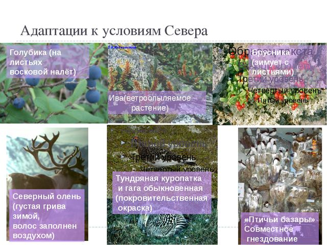Адаптации к условиям Севера Брусника (зимует с листьями) Тундряная куропатка...