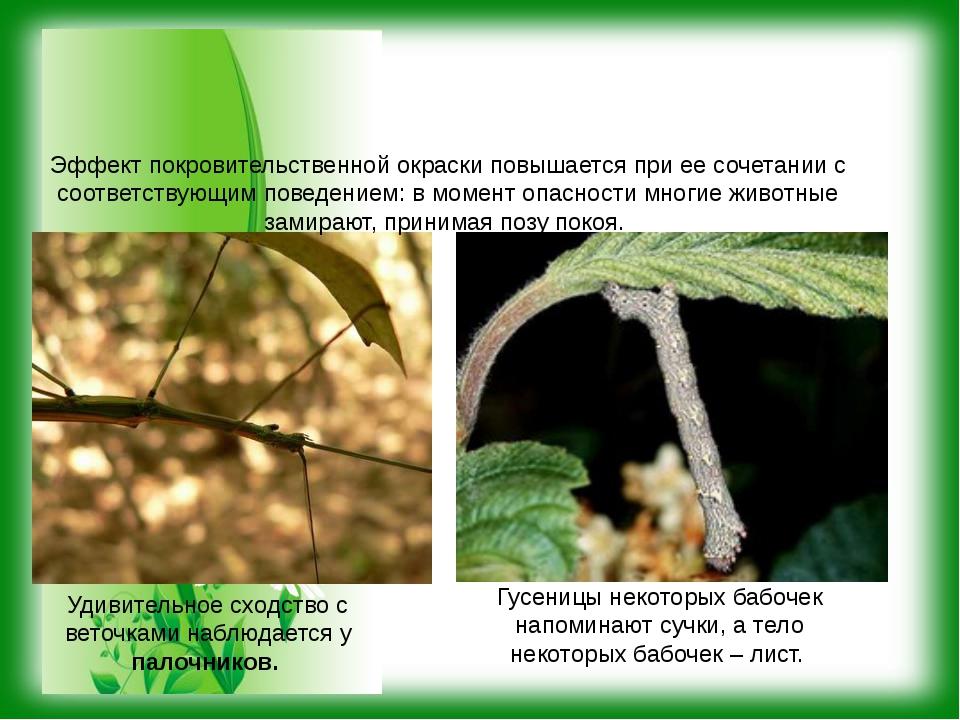 Удивительное сходство с веточками наблюдается у палочников. Гусеницы некотор...