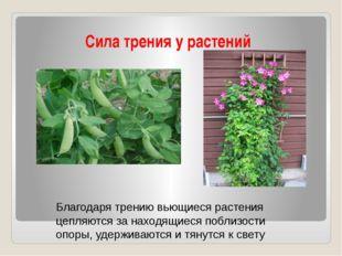 Сила трения у растений Благодаря трению вьющиеся растения цепляются за находя