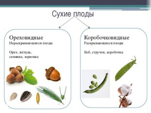 Сухие плоды Ореховидные Нераскрывающиеся плоды Орех, жёлудь, семянка, зерновк