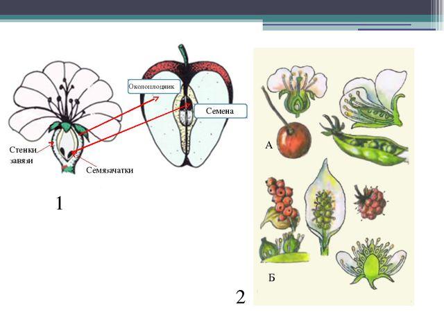 1 2 Семязачатки Стенки завязи А Б Околоплодник Семена