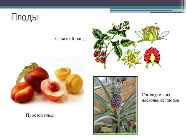 Плоды Простой плод Сложный плод Соплодие – из нескольких плодов