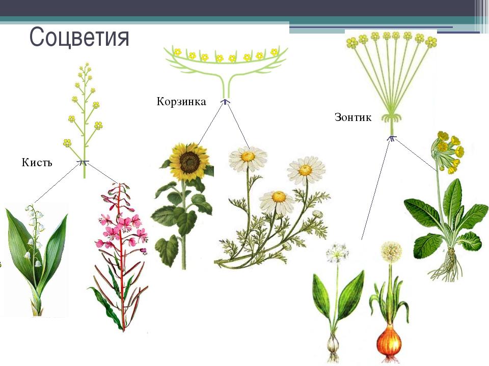 Соцветия Кисть Корзинка Зонтик