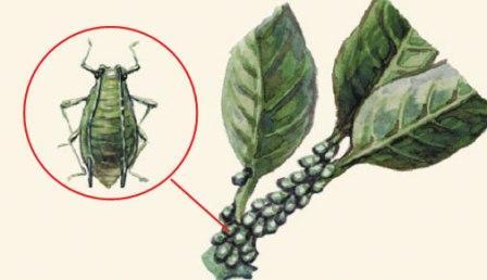 http://plantshome.com.ua/images/tlia.jpg