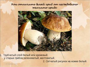 * * Трубчатый слой белый или кремовый, у старых грибов зеленоватый, желтоваты