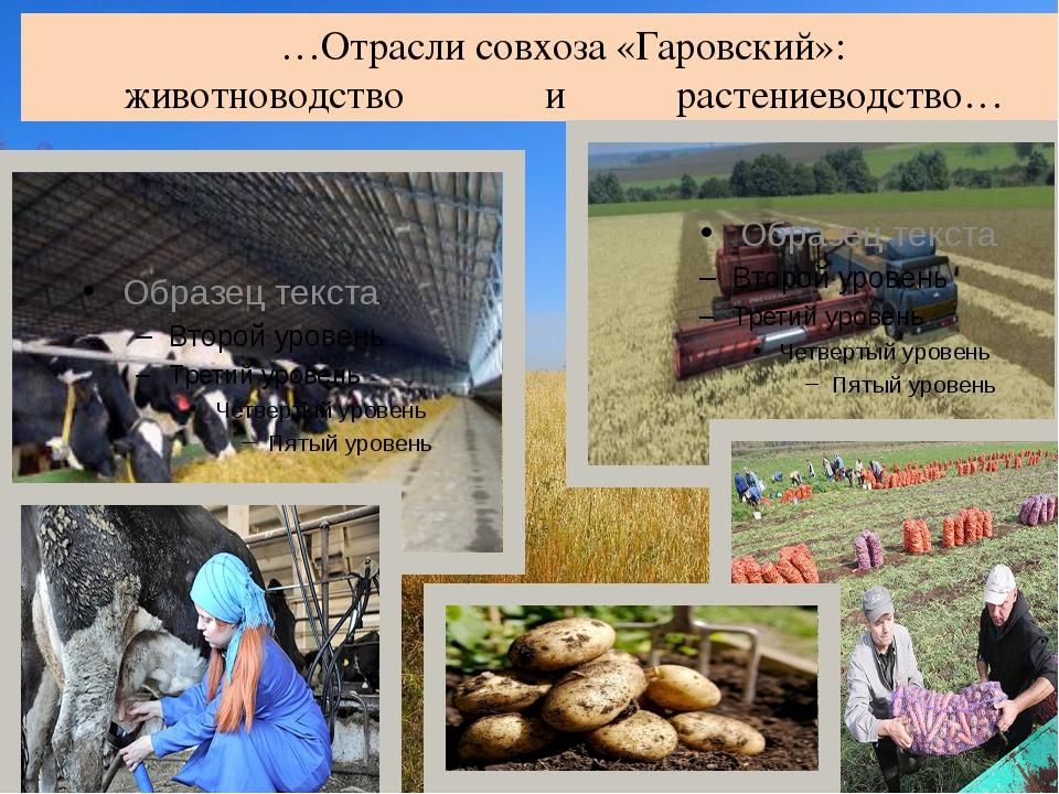 …Отрасли совхоза «Гаровский»: животноводство и растениеводство…