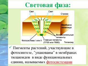 """Световая фаза: Пигменты растений, участвующие в фотосинтезе, """"упакованы"""" вме"""