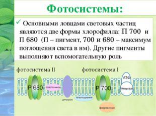 Основными ловцами световых частиц являются две формы хлорофилла: П 700 и П 6