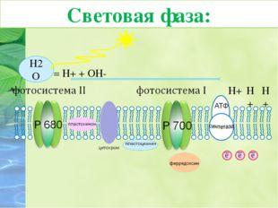 7. Протоны водорода накапливаются внутри тилакоида, создавая Н+-резервуар. В
