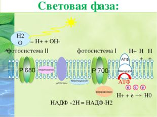 9. Катионы водорода на наружной стороне мембраны присоединяют электроны молек