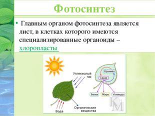 Главным органом фотосинтеза является лист, в клетках которого имеются специа