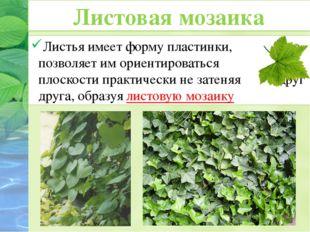 Листья имеет форму пластинки, что позволяет им ориентироваться в плоскости пр