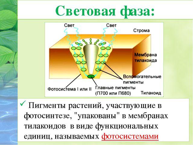 """Световая фаза: Пигменты растений, участвующие в фотосинтезе, """"упакованы"""" вме..."""