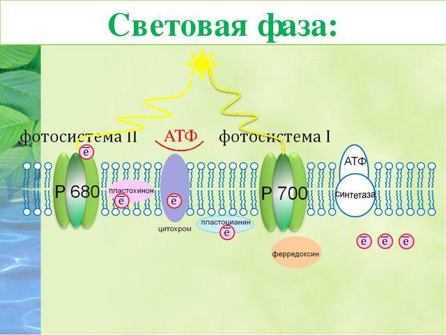 6. Молекула хлорофилла П680 фотосистемы II восстанавливает свой электрон за с...