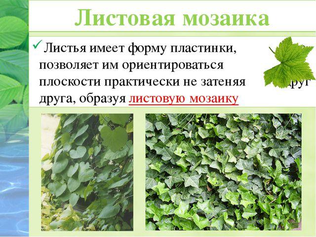 Листья имеет форму пластинки, что позволяет им ориентироваться в плоскости пр...