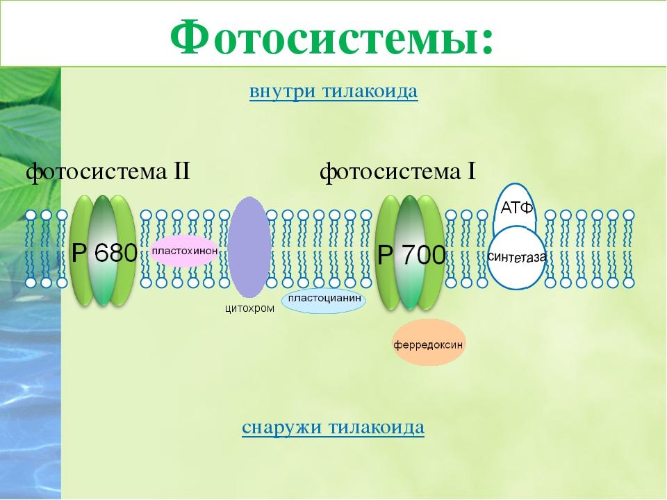 внутри тилакоида снаружи тилакоида цитохром фотосистема II фотосистема I Фото...